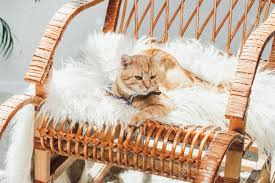 Cute Domestic Ginger Cat Lying On Rocking Chair In Living Room