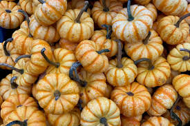 Connecticut Field Pumpkin For Pies by 20 Pumpkins You Should Have Planted This Year U2022 Nifty Homestead