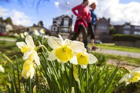 plant tulip and daffodil bulbs by november the seattle times