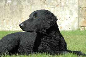 Chesapeake Bay Retriever Shed Hunting by Everything About Your Curly Coated Retriever Luv My Dogs