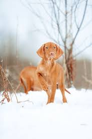 Do Hungarian Wirehaired Vizslas Shed by 84 Best Puppies To Try Images On Pinterest Animals Adorable