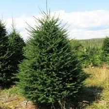 Christmas Tree Types Canada by Spike Christmas Trees Jeddore Oyster Pond Nova Scotia Canada