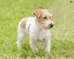 Do All Dogs Shed Their Fur by The Differences In Care And Traits Of Rough Versus Smooth Coats On