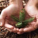 Christmas Tree Seeds Trees Wholesaler And Seedlings Downey Nursery For