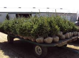 Types Of Christmas Trees Canada by Sloan Nursery U0026 Christmas Trees