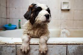 Do Smooth Coat St Bernards Shed by Saint Bernard Dog Breed Information Pictures Characteristics