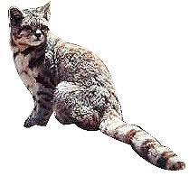 mountain cat andean mountain cat andean cat in rocky mountains andean mountain