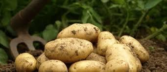 cuisiner des pommes de terre nouvelles les pommes de terre primeur et les pommes de terre nouvelles