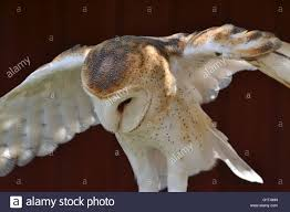 American Barn Owl Stock Photos & American Barn Owl Stock Images ... White Screech Owl Illustration Lachina Bbc Two Autumnwatch Sleepy Barn Owl Yoga Bird Feeder Feast And Barn Wikipedia Attractions In Cornwall Sanctuary Wishart Studios Red Eastern By Ryangallagherart On Deviantart Owlingcom Biology Birding Buddies 2000 Best 2 Especially Images Pinterest Screeching Youtube