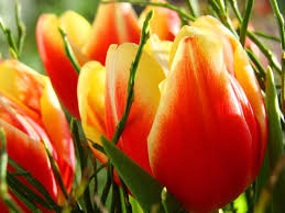 tulips tulips flowers plants and tulip bulbs