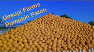 Morgan Hill California Pumpkin Patch by Uesugi Farms Pumpkin Patch Youtube