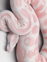 Who Else Would Ignore Their Fear Of Snakes Just To Say They Own A PINK LEOPARD