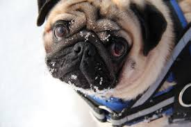 Dogs That Shed Hair by To Pug Or Not To Pug U2026 10 Reasons Why Not To Two Happy Pugs