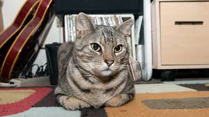 Cat Litter Carpet by How To Get Cat Urine Odor Out Of Carpet