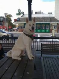 Do Akitas Shed Bad by Japanese Akita Inu Dog Breed Information And Pictures