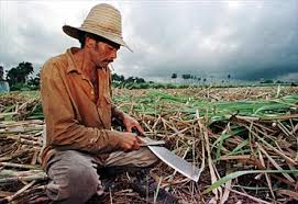 Cuban Cane Cutter In 1998 No Different Than 1898