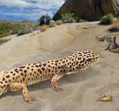 Do Leopard Geckos Shed by Leopard Gecko U2014leopard Gecko Habitat And Food Information