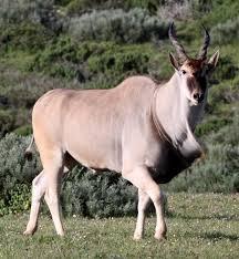 Wild Animals Animal Worlds Eland Tragelaphus Oryx African Wildlife Africa