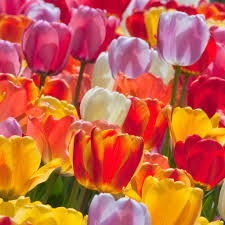 tulip bulbs item 1264 big ups for sale