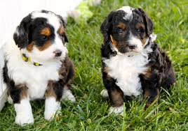 List Of Non Shedding Hypoallergenic Dogs by The Truth About Dog Breeding Rover Com