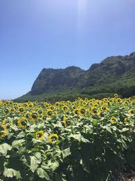 Waimanalo Pumpkin Patch Oahu by Waimanalo Country Farms Sunflowers