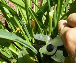 stella daylillies pruning and dead heading and lawns