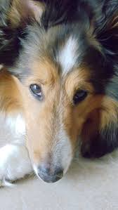 Sheltie Shedding In Winter by 353 Best All Canine Images On Pinterest Animals Sheltie And Dogs