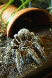 signs of tarantulas molting animals mom me