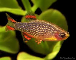nano fish for sale aquariumfish net