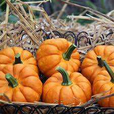 Northern Illinois Pumpkin Patches by Richardson Adventure Farm U0027s U Pick Pumpkin Patch In Spring Grove