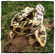 Coastal Carpet Python Facts by 30 Best Jungle Jag Carpet Python Images On Pinterest Python
