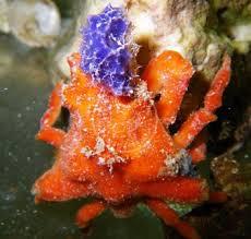 decorator crabs eat fish sponge crab