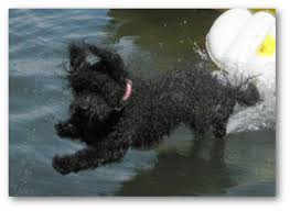 Portuguese Water Dog Non Shedding by Barbet Hypoallergenic Dog Breeds Non Shedding Dogs Dogs That