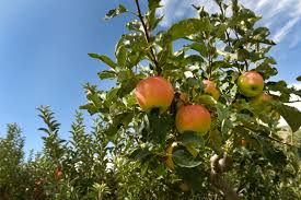 Apple harvest in Colorado hurting but aims for eback – The
