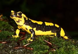 Do Aquatic Dwarf Frogs Shed Their Skin by Facts About Salamanders