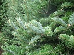 Frasier Christmas Tree Cutting by Schuett Farms Christmas Trees Frasher Fur Wreaths Mukwonago Wi