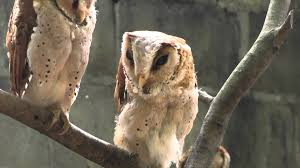 Must-See In Malaysia: Penang Bird Park. A Pack Of Owls. - YouTube Amazing Barn Owl Nocturnal Facts About Wild Animals Barn Owl By David Cooke For Sale The Sculpture Parkcom Rhodium Comes To Canada With Its Striking New Nocturnal Nature Flying Wallpapersbirds Unique Hd Wallpapers Owls In Kuala Lumpur Bird Park Stock Photo Image 87325150 Biocontrol View Common In Malaysia Sekinchan Paddy Field Youtube Another Blog Farmers Friend Bear With Him Girl Mom Birds Of World Owls