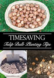 timesaving tulip bulb planting tips time with thea