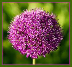 10 x allium purple sensation perennial garden plant bulbs ebay