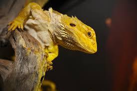Bearded Dragon Heat Lamp Timer by The Bearded Dragon Files Ii Care U0026 Husbandry U2022 Pender Vet Animal