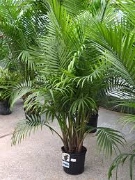 palmier majesté jardinier paresseux