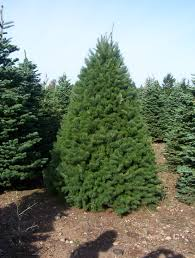 Nordmann Fir Christmas Tree by Hicks Christmas Tree U0027s Christmas Trees Archives Hicks Christmas