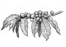 Coffee Plant Illustration Drawing Engraving Ink Line Art Vector Royalty