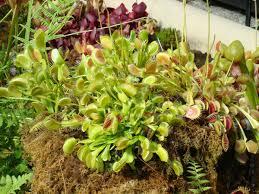 venus flytrap care what you need to venus flytrap center