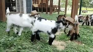 Tiny Baby Goats Wearing Cowboy Hats Romp Around In The Yard Of An Austin Texas Yoga Studio