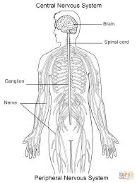 Anatomy Coloring Book Nervous System