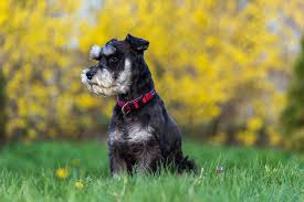 Do Giant Schnauzers Shed by Best Quality Schnauzer Puppies For Sale In Singapore December 2017