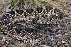 eastern diamondback rattlesnake crotalus adamanteous about animals