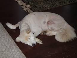 Do Samoyeds Shed All The Time by Harley The Elderly Samoyed Needs Assistance Big Fluffy Dog Rescue