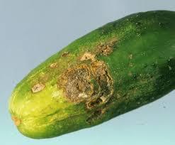 G M Pumpkin Patch Livermore Ca by Rhizoctonia Solani Afflicting A Cucumber Cucumis Pinterest